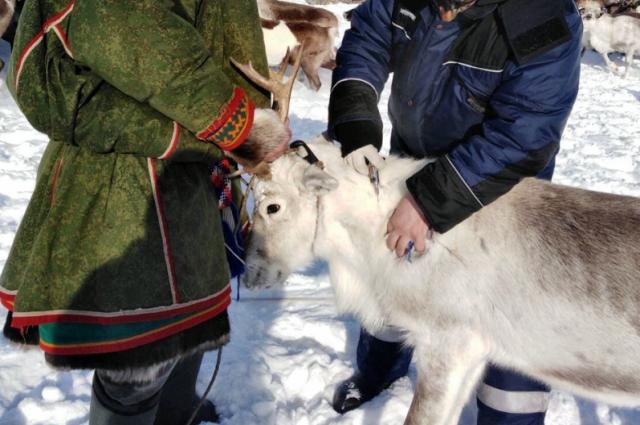 Дан старт вакцинации северных оленей против сибирской язвы.
