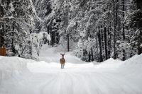 Дикий олень, похоже, вышел из лесу и оказался в районе горнолыжного комплекса.