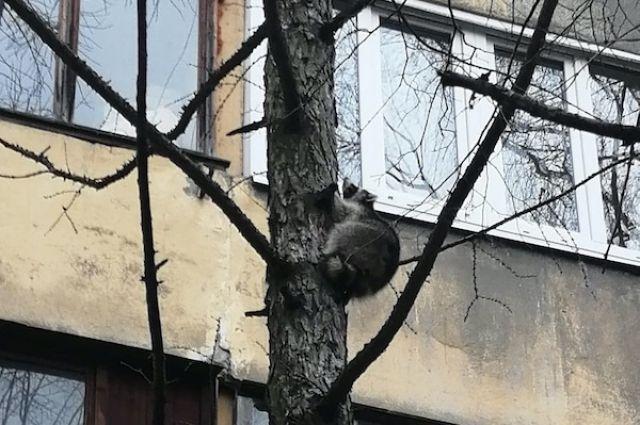 В Тобольске спасатели сняли с дерева енота
