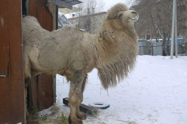 Верблюд Кеша живет в ужасных условиях.
