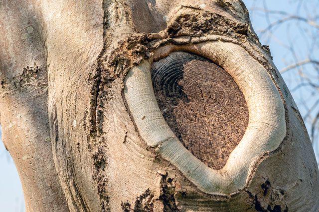 Фото 1. Заращивание спила ветки каллусной тканью.