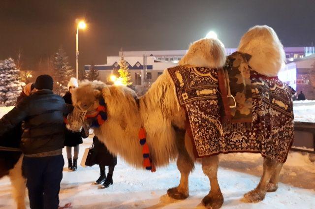 Тюменского верблюда Кешу пытается спасти ветеринар из Челябинска