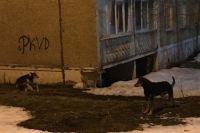 3 марта пермячка увидела стаю безнадзорных собак, которые живут под балконами жилого дома на ул. Рабоче-Крестьянской, 30.