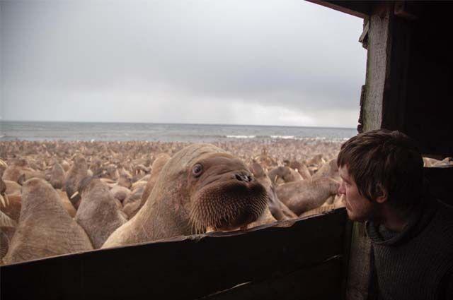На побережье выходит до 100 тыс. животных.