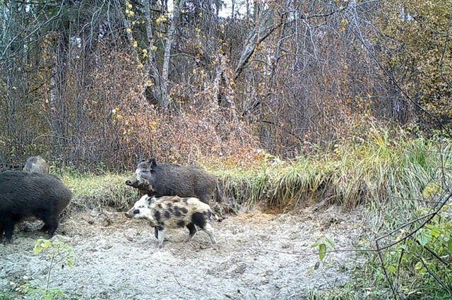 Чтобы спасти вековые леса от вырубок, а их обитателей - от охотников, нужно уточнить лесохозяйственные регламенты.