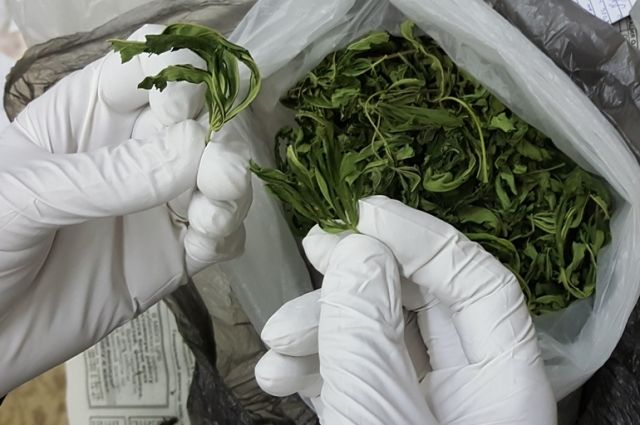 Марихуана хранение и употребление в россии крупный размер растений марихуаны