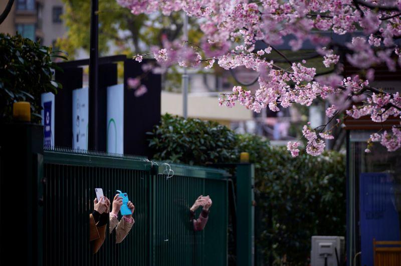 Люди фотографируют цветущие вишни возле входа в закрытый парк, Шанхай, Китай..