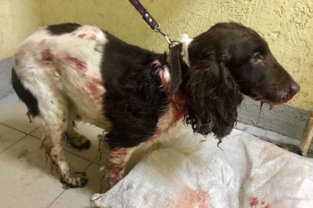 Пёс плохо ориентируется в пространстве. Он получил серьёзные травмы головы.