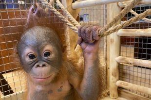 Окрепшая обезьянка уже питается фруктовым пюре, а в скором времени ее планируют поселить среди сородичей.