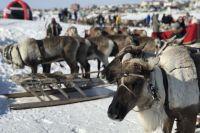 В городах и селах Ямала отменяют День оленевода