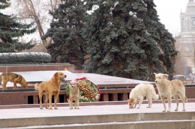 Бездомные псы добрались до сердца города – Вечного огня в центре Волгограда.