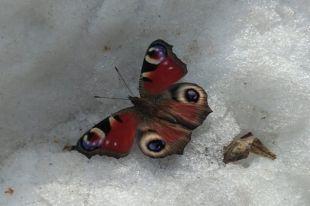Фотография бабочки в снегу восхитила жителей Новосибирска.