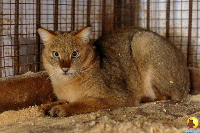 Камышовая кошка Жужа стала мамой.