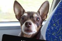 Собака коричневого цвета, шерсть с сединой, плохо ходит.