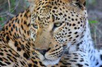 В Тюмени заблокировали сайты с продажей гепардов и тигров