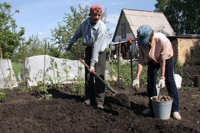 Чтобы собрать хороший урожай картофеля, надо правильно  подготовить его к посадке.