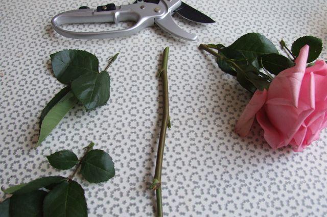 Подарим букету вторую жизнь! Как черенковать розы, хризантемы и лилии
