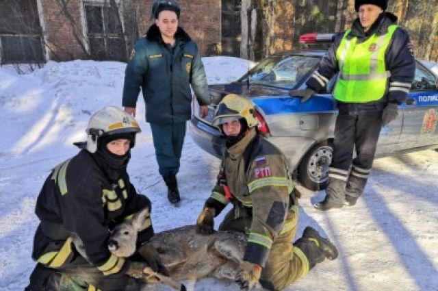 Сотрудники служб поймали дикую косулю, увязшую в снегу, и доставили ее в ветеринарную клинику.