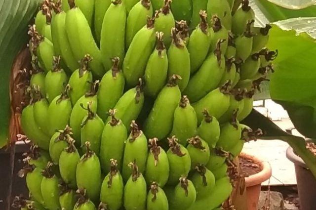 Урожай будет примерно 20 кг бананов