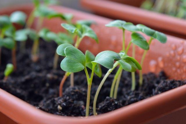 Появление первых ростков нужно отслеживать очень четко.