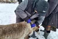 В ЯНАО продолжается весенняя вакцинация оленей против сибирской язвы