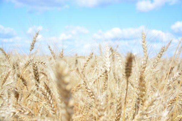 Минсельхоз предложил ввести квоты на экспорт пшеницы, кукурузы и ячменя
