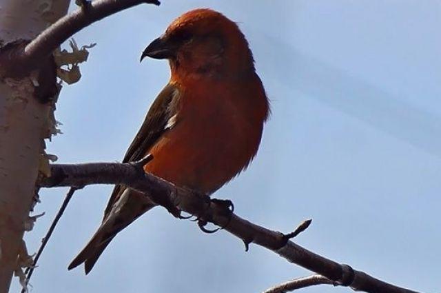Самцы клеста-еловика имеют яркое оранжево-малиновое оперение