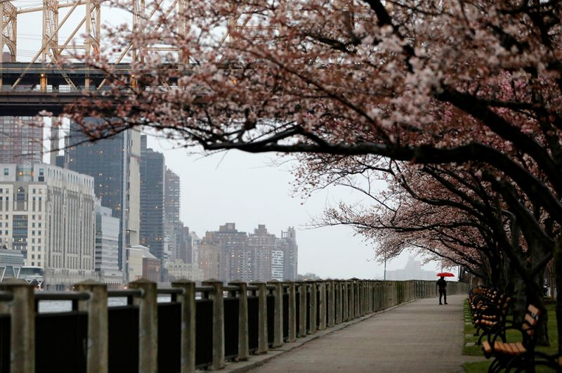 Мужчина совершает прогулку под цветущими вишнями на острове Рузвельта.