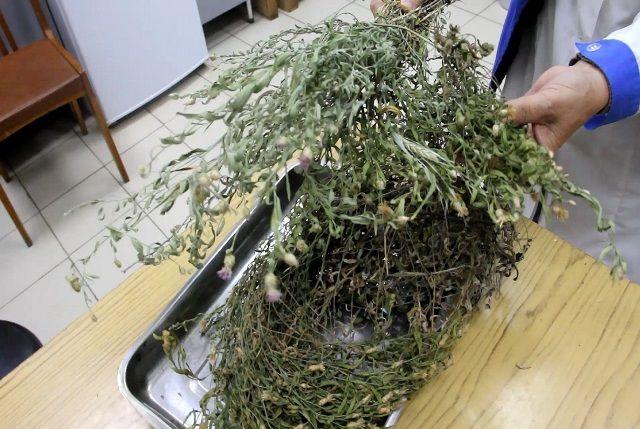 Если перед посевом не проверить семена, то вместе с нужными растениями могут появиться сорняки. На фото - горчак ползучий.