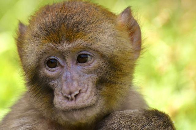 11 обезьян навсегда останутся в Сибирском зоопарке.