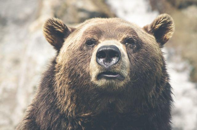 От медведя мужчина спрятался на дереве.