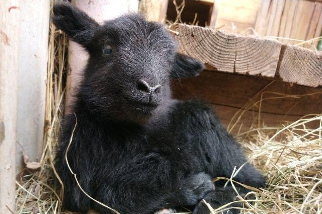 Овечка родилась 10 апреля.