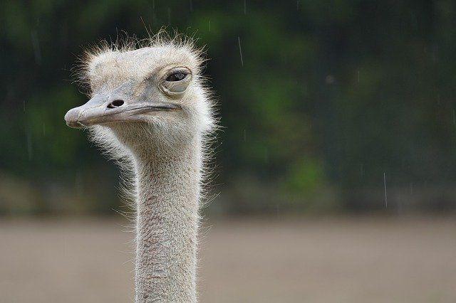 Житель Омутинского района планирует заняться разведением страусов