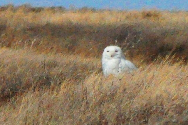 В Оренбуржье залетела белая полярная сова.