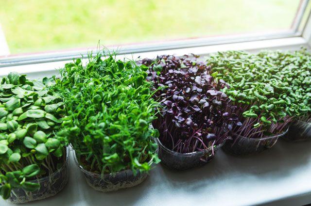 На балконе хорошо растут зелень, лук и чеснок на перо, ранние сорта редиса, свекольник и даже мелкая свёкла.