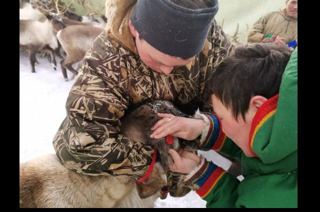 В ЯНАО закончили весеннюю вакцинацию оленей
