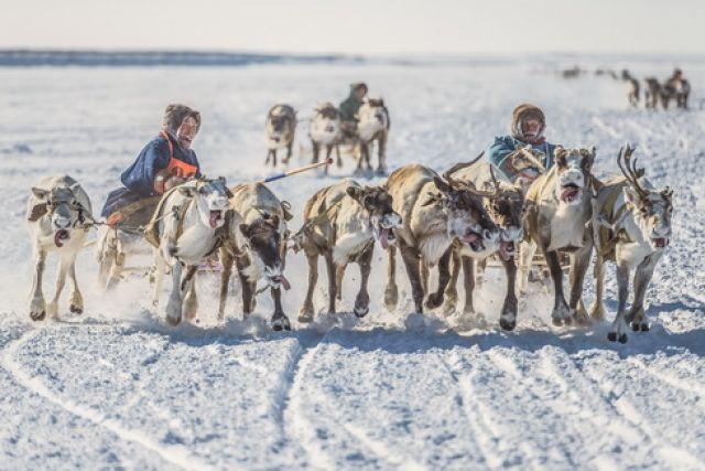 Из-за пандемии коронавируса в этом году на севере края отменили празднование Дня оленевода.