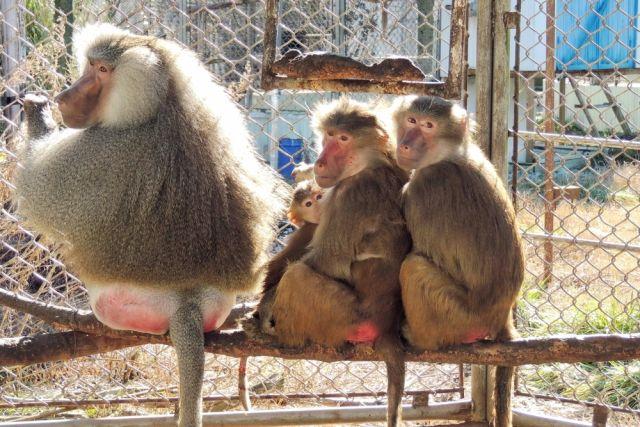 Гамадрилы относятся к высшим приматам, и самцы нередко заводят гаремы.