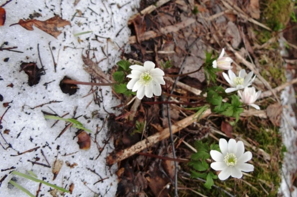 Из-под снега видны цветки ветреницы.
