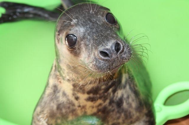 На реабилитацию в Калининградский зоопарк привезли детёныша тюленя