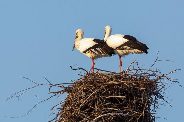 Эта птица является индикатором благополучия экосистем бассейна Амура: он чутко реагирует на загрязнение воды и почвы, иссушение поймы и изменение климата.