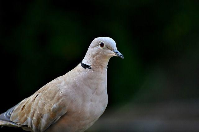 В Тюмень вернулись голуби вяхири
