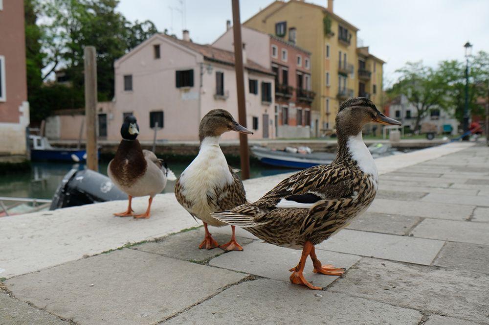 Утки в Венеции, Италия.