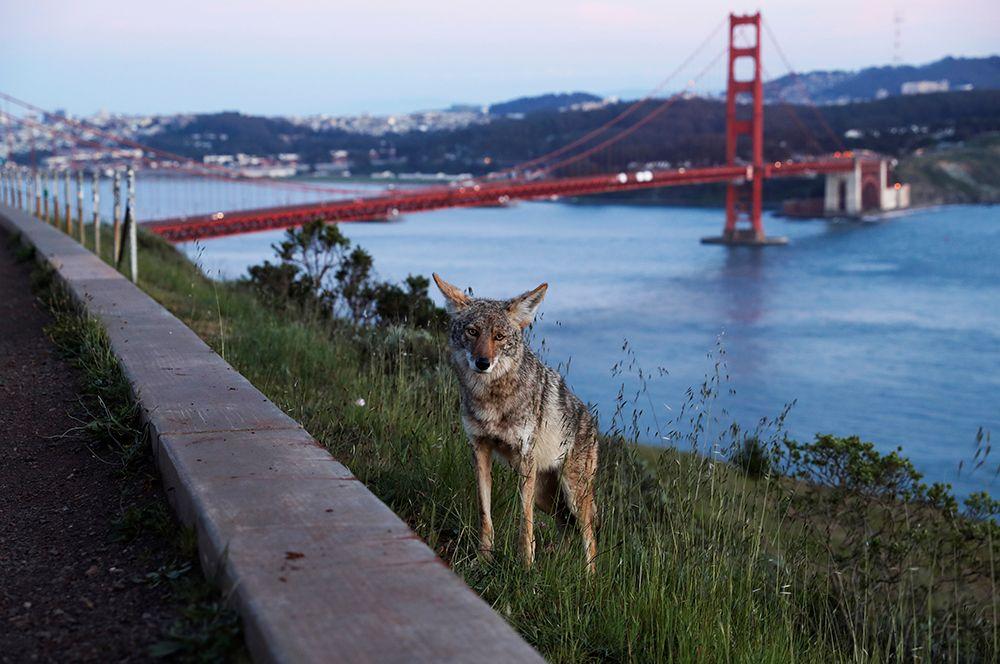 Койот рядом с мостом Золотые Ворота в Сан-Франциско, Калифорния, США.