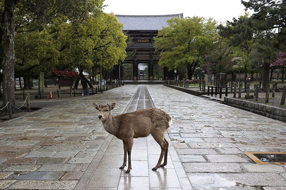 Олени, обитающие в парке Нара в одноименном городе, Япония.