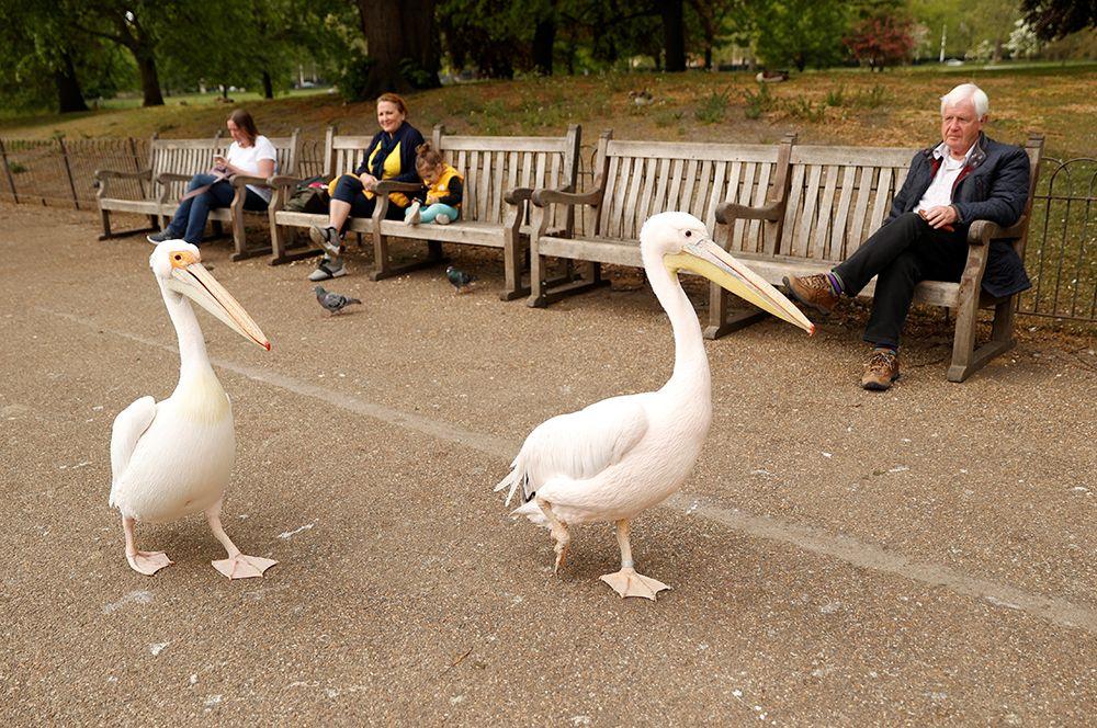 Пеликаны в парке Сент-Джеймс в Лондоне, Великобритания.