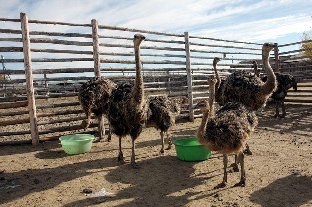 Предприниматели помогают страусиной ферме в селе Чикча Тюменского района