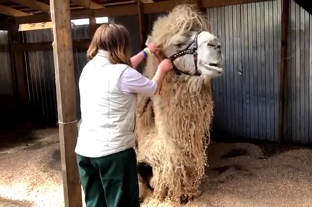 Тюменский верблюд Кеша с радостью общается с петербуржцами