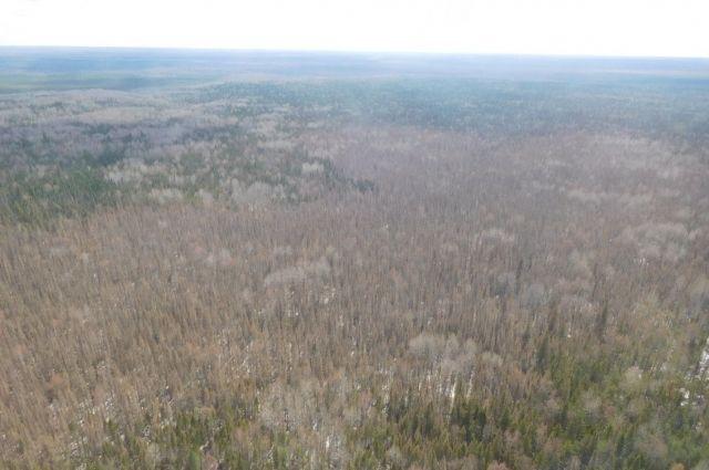 В Сибири уже вредителями уже уничтожено 3 млн гектара тайги.