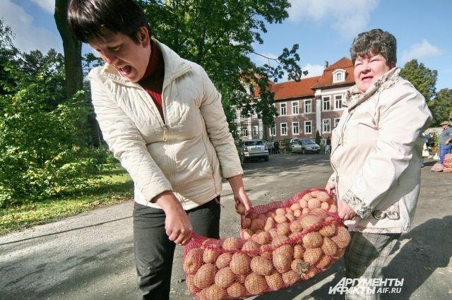 Картошка – второй хлеб, спасает семьи в кризис.